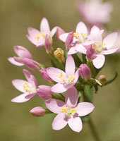 Centaury - Bach Flower Remedy