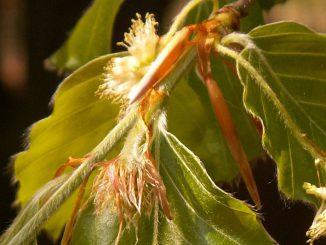 Beech-Bach-Flowers
