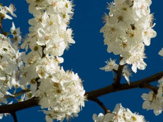 Cherry Plum - Bach Flower Remedy