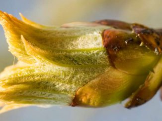 Chestnut Bud Flower
