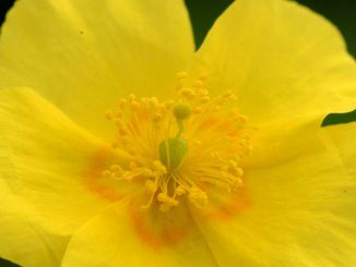 Rock Rose Flower - Bach