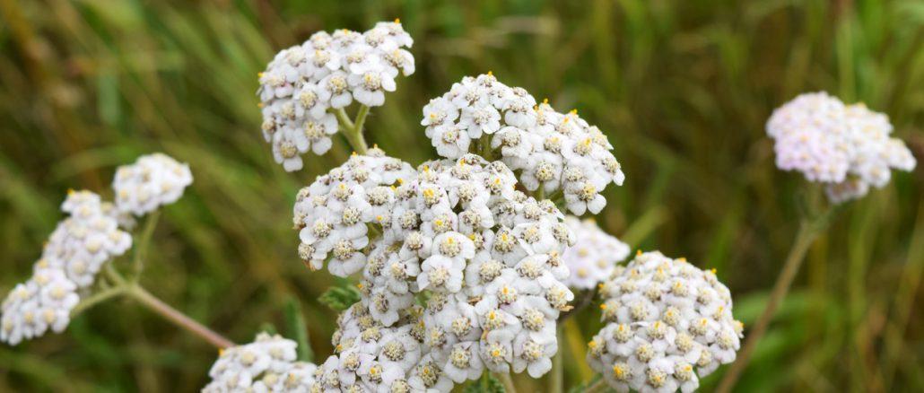 Yarrow-Flowers