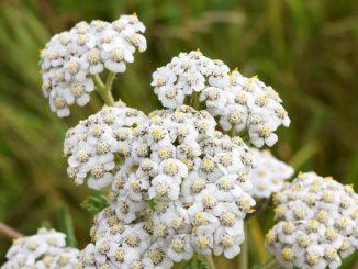 Yarrow-Flowers