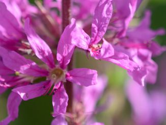 Loosestrife Flower