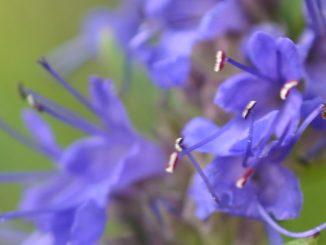 Hyssop Flower