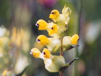 Yellow Rattle Flower