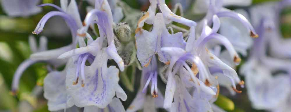 Rosemary Flowers - close up on a leafy background