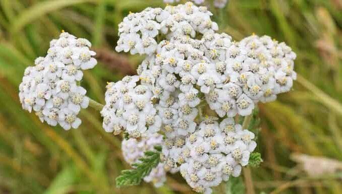 Yarrow Flowers - flowers with a grassy background